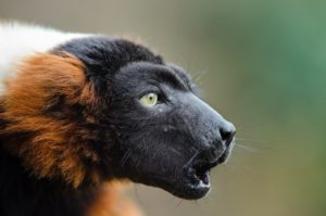 red-ruffed-lemur-1014240_1920